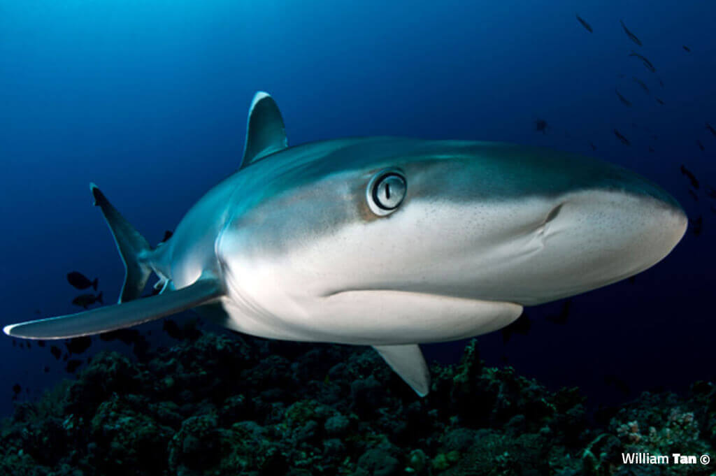 Silver Tip Shark - William Tan Underwater Photography