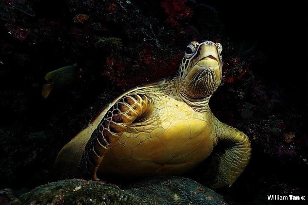 Turtle - William Tan Underwater Photography